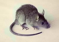 kuma-mouse.jpg