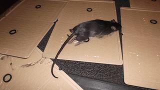 久しぶりの鼠